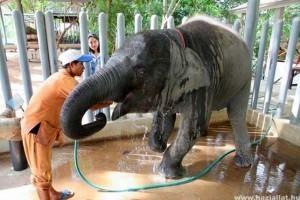 Éhezés fenyegeti a thaiföldi elefántokat