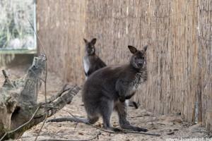 Bennett-kenguruk érkeztek a debreceni állatkertbe