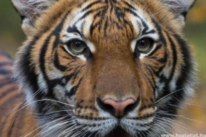 Tigrisek kapták el a koronavírust New Yorkban