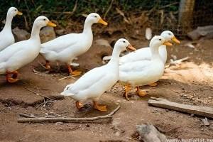 Téves diagnózis miatt számoltak fel egy kacsaállományt