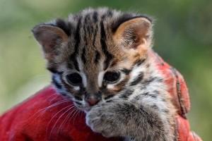 Leopárdmacska, a legügyesebb kiscica?