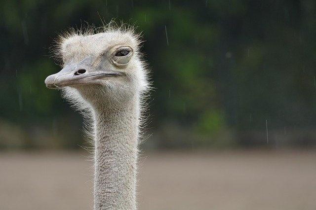 ostrich-4504017_640