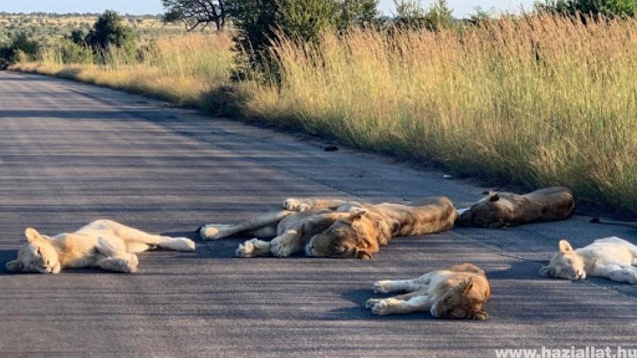 Élvezik a látogatók nélküli életet a dél-afrikai Kruger Nemzeti Park oroszlánjai