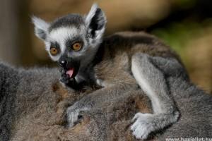 Cuki gyűrűsfarkú makikölyökkel bővült a debreceni állatkert
