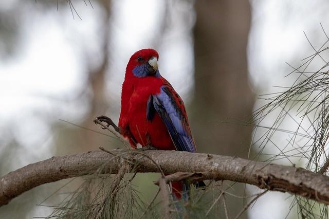 rosella-papagaj