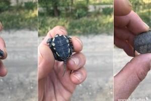 Így néz ki egy tojásból nemrég kikelt mocsári teknős bébi