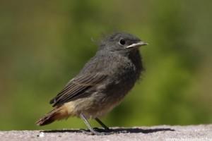 Fontos - ne vigyük haza a magányosnak tűnő madárfiókákat