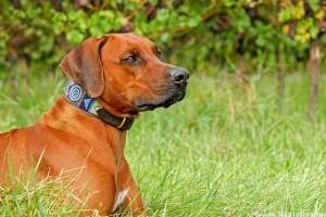 Veszélyes lehet a kutyanyakörv?