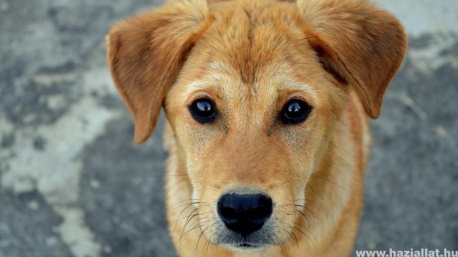 Ami nekünk a koronavírus, az a kutyáknak a szívférgesség
