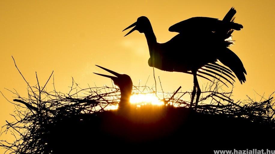 Szomorú, hogy csökken a fehér gólya hazai állománya is