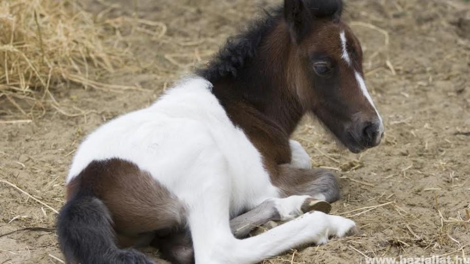 Welsh póni született a debreceni állatkertben