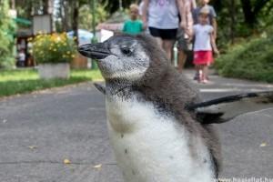 Cuki pingvinbébi totyog a Debreceni Állatkertben