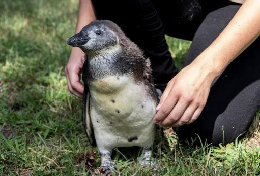 pingvindebrecen
