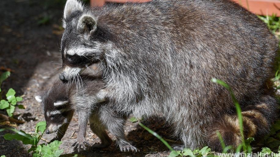 Napi cuki - Ötösikrek születtek a Debreceni Állatkertben