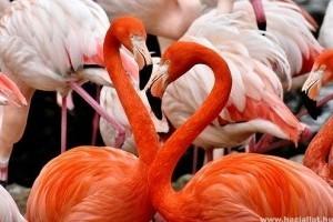 Minél rózsaszínebb a flamingó, annál agresszívabb