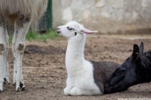 Cuki lámacsikók születtek a debreceni állatkertben