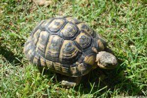 Teknősöket találtak egy furgonban a vámosok