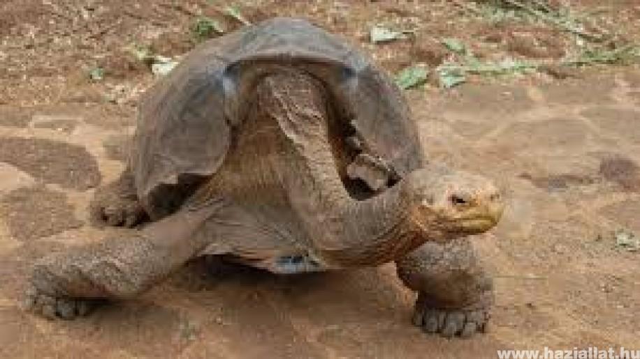 Nyugdíjba ment Diego, a galápagosi óriásteknős