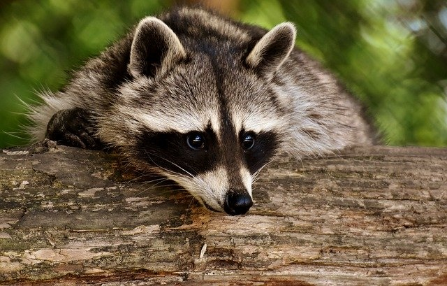 raccoon-3538081_640_01
