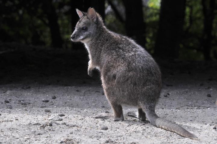 Különleges, fehértorkú kenguru érkezett Budapestre