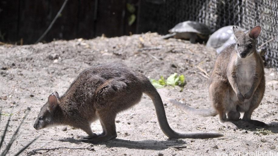 Különleges kengurufaj érkezett a budapesti állatkertbe