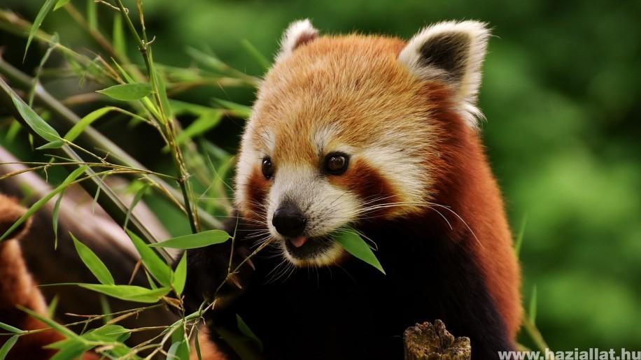 Megérkezett Bendegúz, az új kis panda a budapesti állatertbe