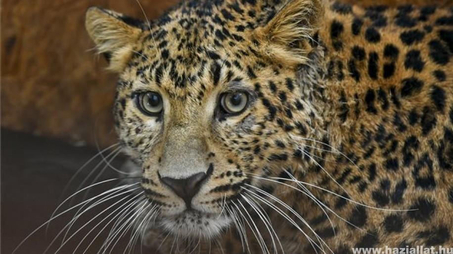 Coolio, az észak-kínai leopárd a debreceni állatkert új lakója