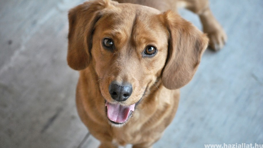 Magyar kutatók kiderítették: a kutyák tudatában vannak cselekvéseiknek