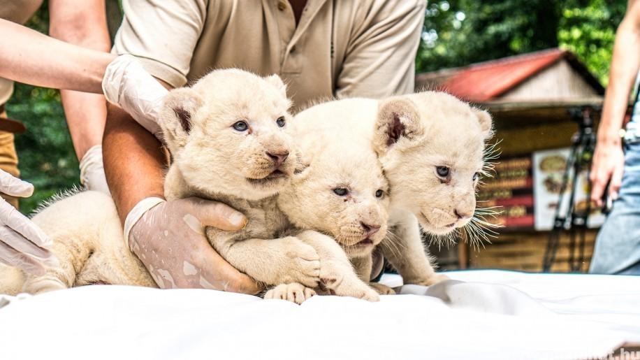 Különleges, fehér oroszlánok születtek Nyíregyházán! Fotókon a kölykök
