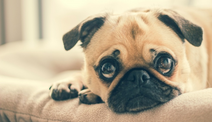 adorable-animal-breed-canine-374906