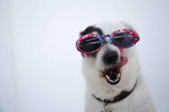 close-up-photo-of-dog-wearing-sunglasses-1629781