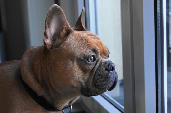 french-bulldog-4019784_1280