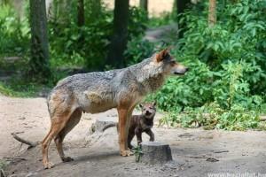 Különleges videó: farkaskölyök a Bükkben!