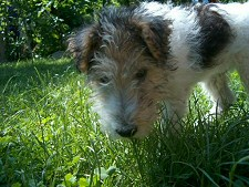 nyár, kutya, fű