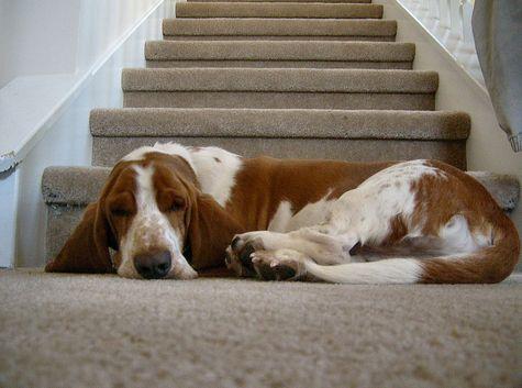 basset hound, kutya