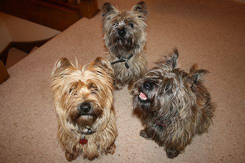 cairn terrier, terrier, kutya