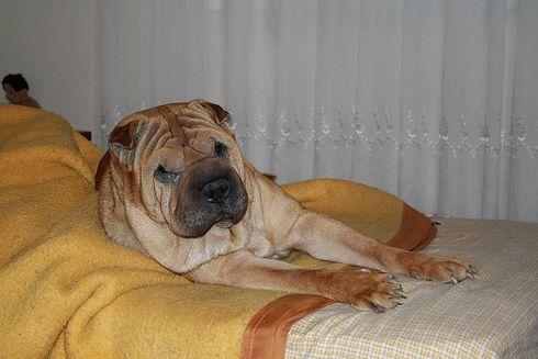Shar-pei, kutya