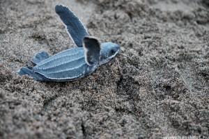 Veszélyes mennyiségű műanyagot esznek meg a kisteknősök Floridában