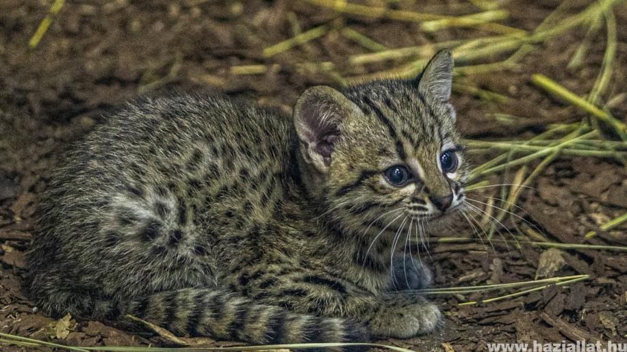 Ritka macskaféle született a Nyíregyházi Állatparkban