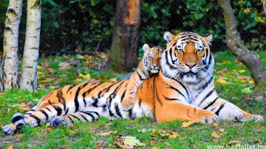 A kihalás szélén álló szumátrai tigrisek egy példányát találták meg csapdába esve