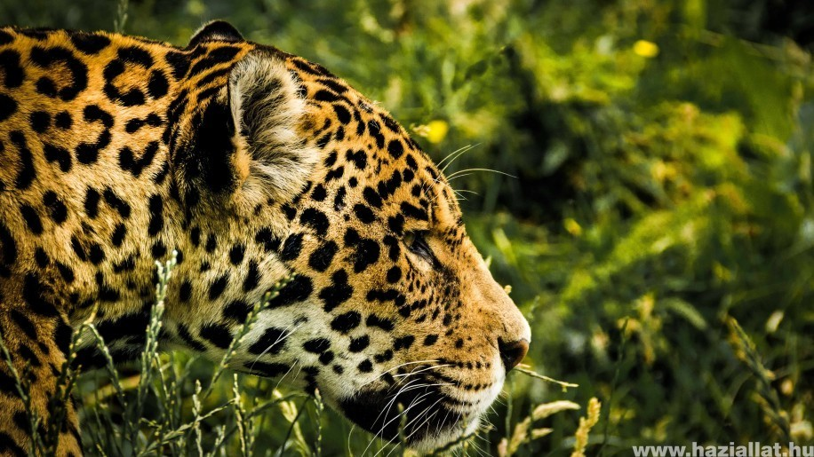 Most már a jaguárok rezervátumát is fenyegetik a brazíliai tüzek