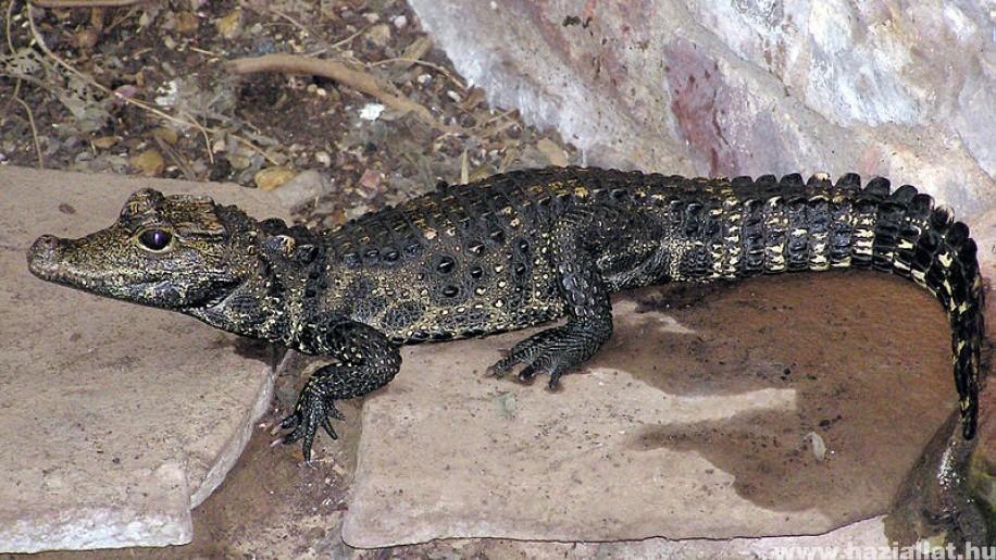 Különleges, tompaorrú krokodilok születtek a Szegedi Vadasparkban