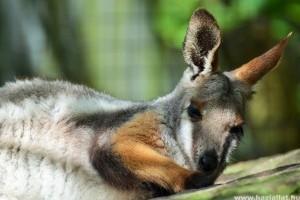 Nincs happy end: előkerült a 2 szökött miskolci kenguru, de csak az egyik élte túl a kalandot