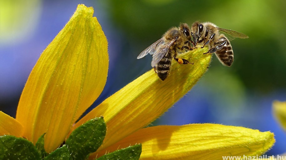 A wi-fi miatt kevesebb a méh?
