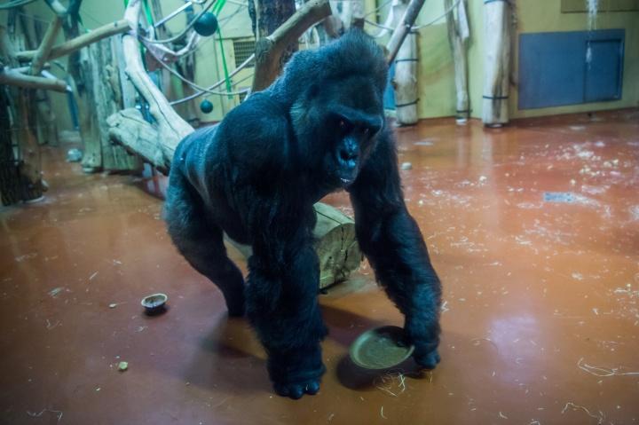 golo, gorilla, budapest, állatkert, születésnap
