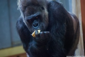 Tortával ünnepelték a 40 éves Golot, a fővárosi állatkert gorilláját