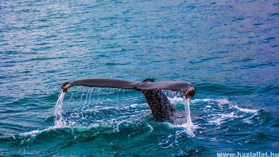 Európa legnagyobb hadgyakorlata veszélyezteti a bálnákat