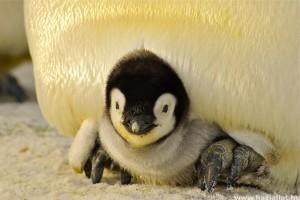 Tündéri pingvinfióka született a Szegedi Vadasparkban
