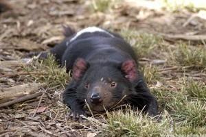 Visszatérhetnek a tasmán ördögök Ausztrália vadonjába