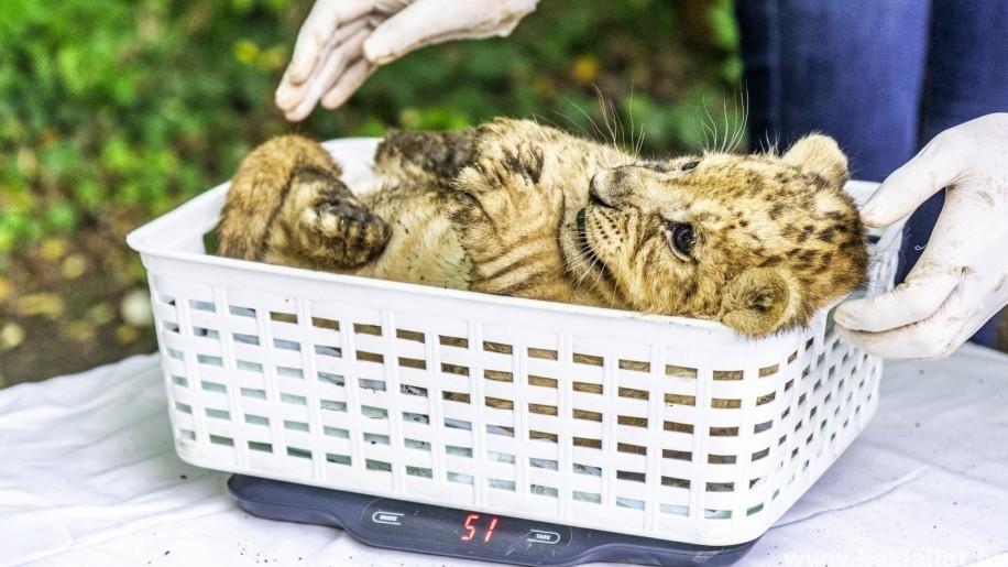 Fotókon a négyesiker oroszlánkölykök - Bébibumm Nyíregyházán